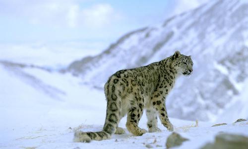 snowleopardXL_257721