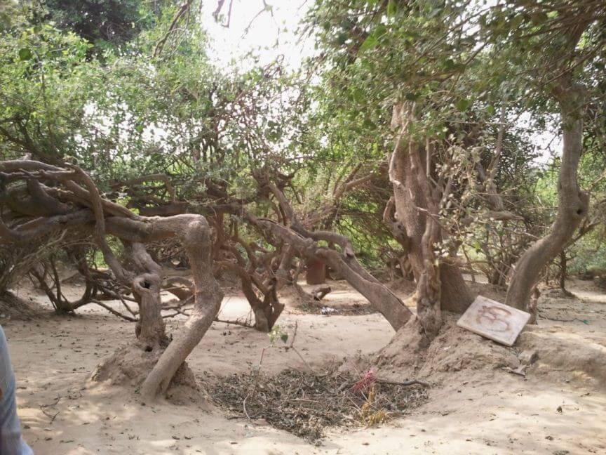 Trees-of-nidhivan